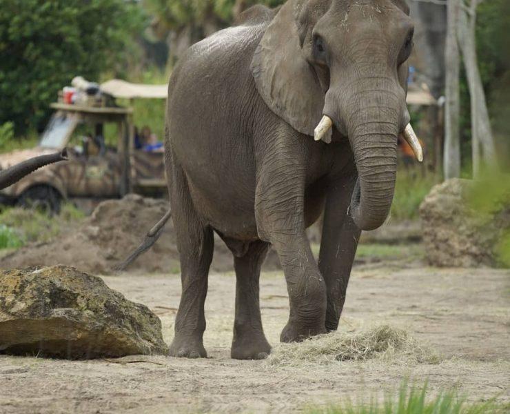Magic of Disney's Animal Kingdom Elephant
